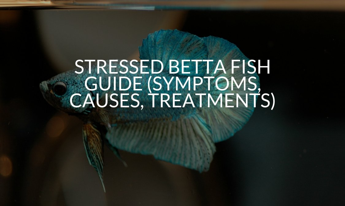 Stressed Betta Fish Guide (Symptoms, Causes, Treatments)