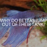 Why Do Bettas Jump Out Of Their Tank?