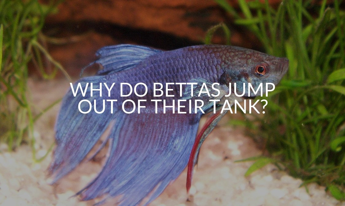 Why Do Bettas Jump Out Of Their Tank_