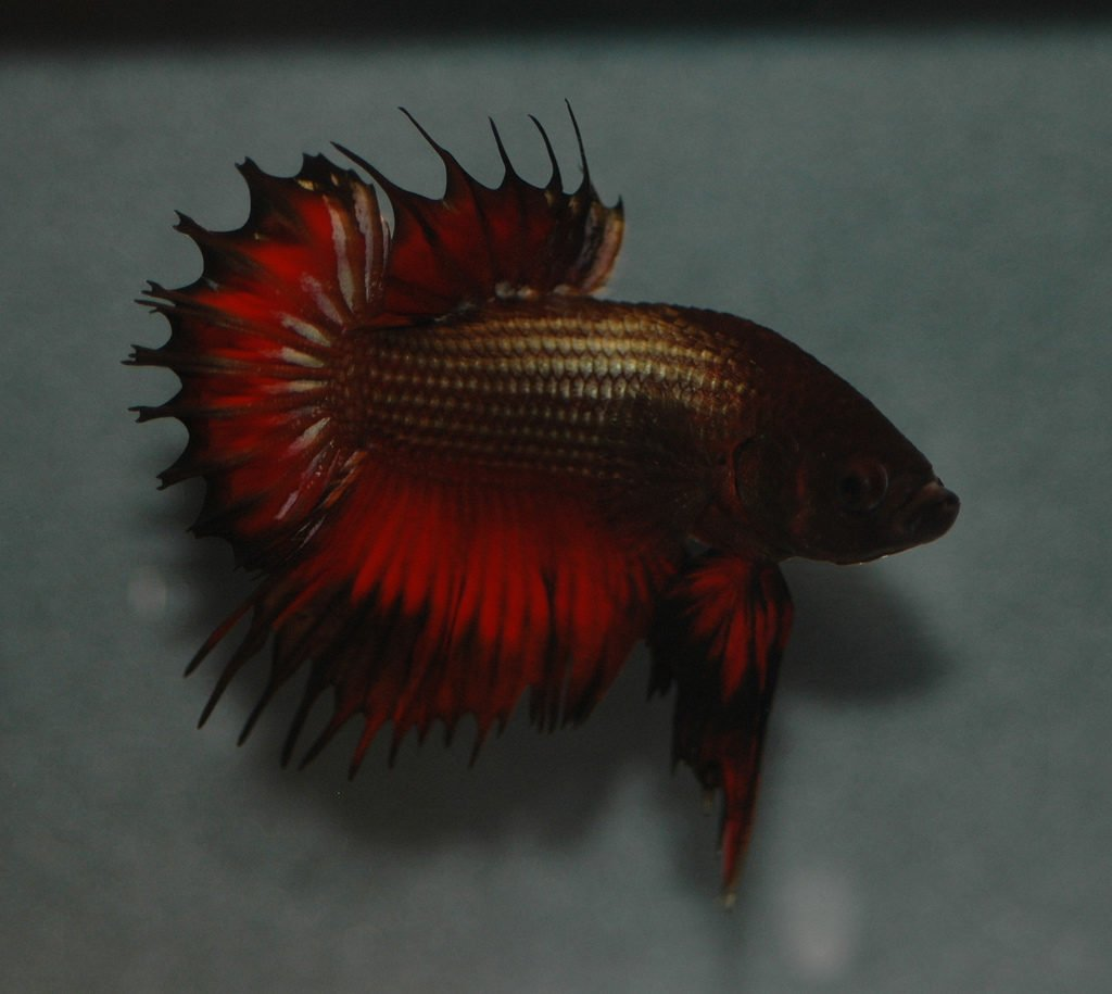 Red And Black Plakat Betta