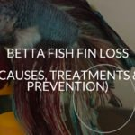 Betta Fish Fin Loss (Causes, Treatments & Prevention)