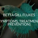 Betta Gill Flukes (Symptoms, Treatment, Prevention)