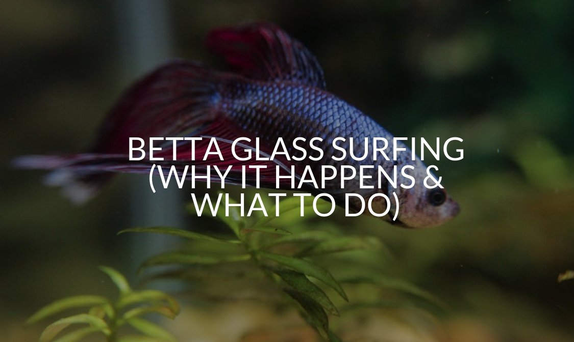 Betta Glass Surfing (Why It Happens & What To Do)