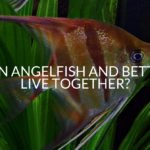 Can Angelfish And Bettas Live Together?