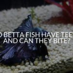Do Betta Fish Have Teeth And Can They Bite_