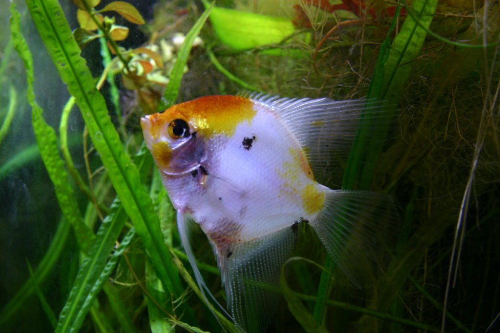 Orange and white angelfish