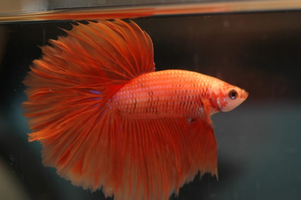Betta Gill Flukes (Symptoms, Treatment, Prevention) - Betta