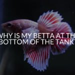 Why Is My Betta At The Bottom Of The Tank?
