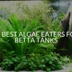 17 Best Algae Eaters For Betta Tanks