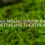 Can Amano Shrimp And Bettas Live Together?