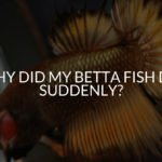 Why Did My Betta Fish Die Suddenly? (17 Common Reasons!)