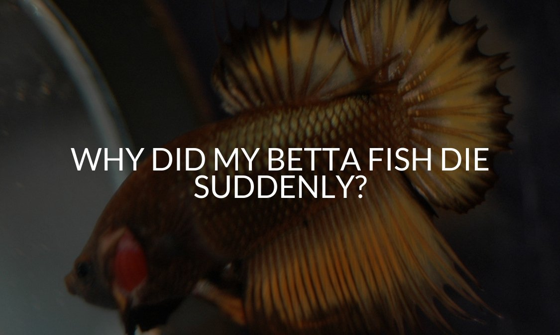Why Did My Betta Fish Die Suddenly_ (17 Common Reasons!)