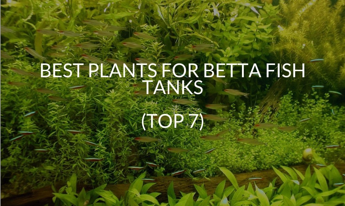 Best Plants For Betta Fish Tanks Top 7 Betta Care Fish Guide