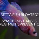 Betta Fish Bloated? Symptoms, Causes, Treatment, Prevention