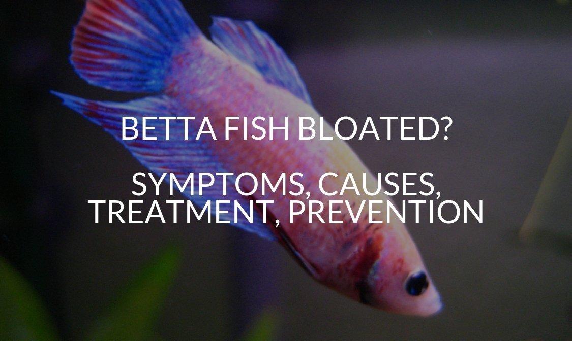 Betta fish bloated
