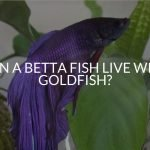 Can A Betta Fish Live With Goldfish?