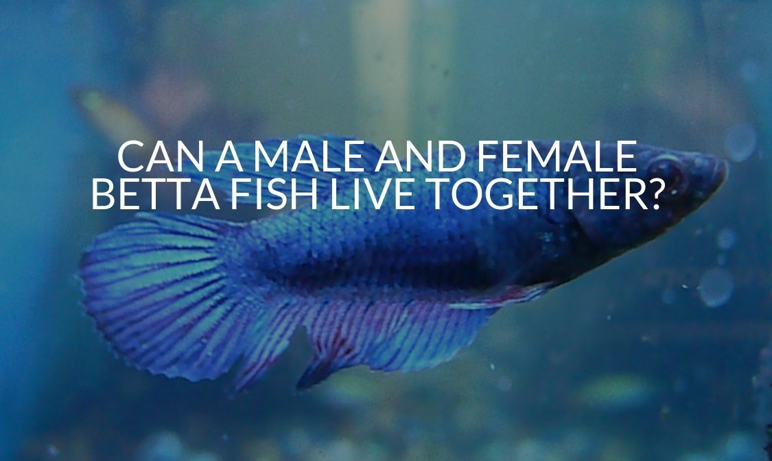 CAN A MALE AND FEMALE BETTA FISH LIVE TOGETHER_