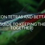 Neon Tetras And Bettas (A Guide To Keeping Them Together)