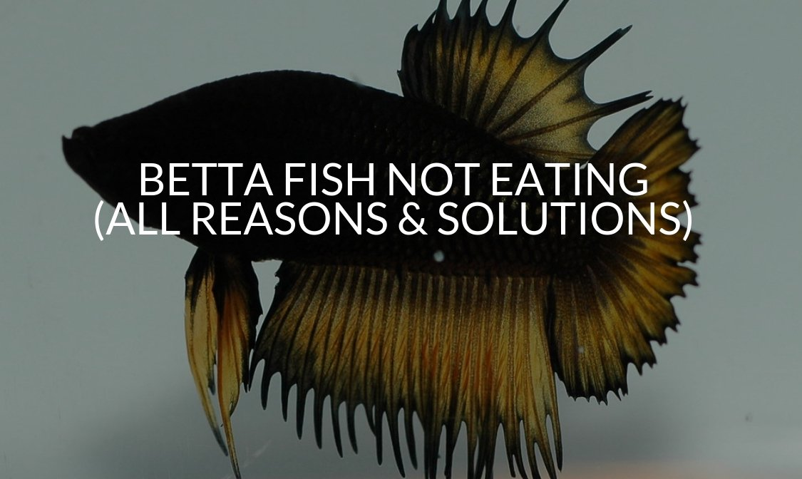 Betta Fish Not Eating (All Reasons & Solutions) (1)