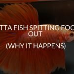 betta fish spitting food out