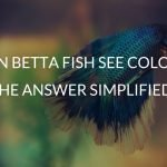 Can Betta Fish See Color? (The Answer Simplified)