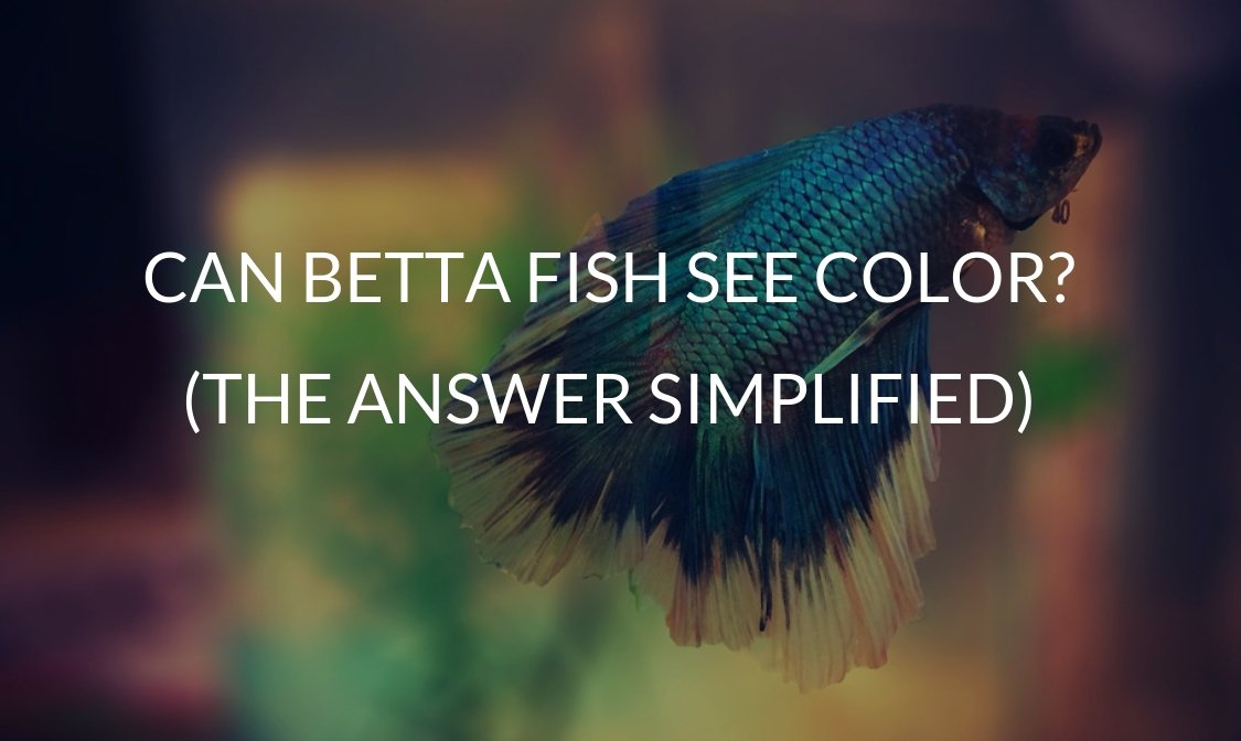 Can Betta Fish See Color (The Answer Simplified)