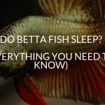 Do Betta Fish Sleep? (EVERYTHING You Need To Know)