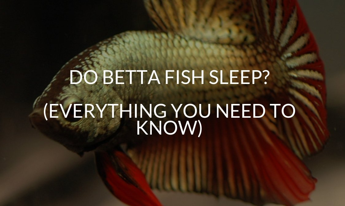 Do Betta Fish Sleep (EVERYTHING You Need To Know)