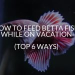 How to feed betta fish while on vacation