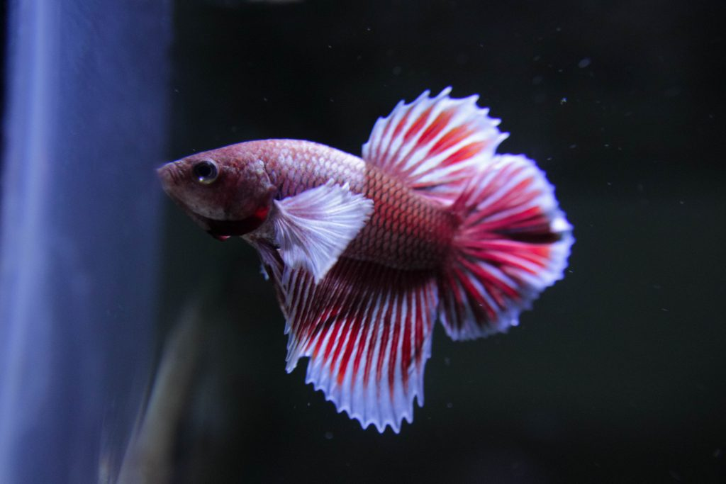 How To Feed Betta Fish While On Vacation Top 6 Ways Betta Care Fish Guide