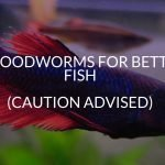 Bloodworms For Betta Fish (Caution Advised)