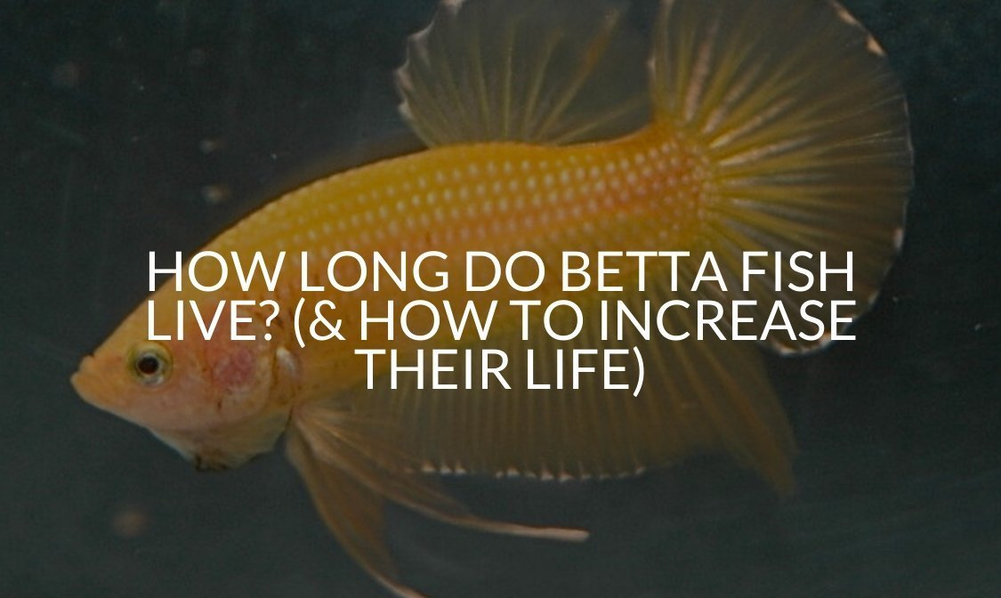 How Long Do Betta Fish Live_ (& How To Increase Their Life)