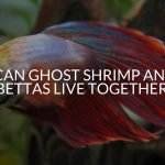 Can Ghost Shrimp And Bettas Live Together_