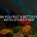 Can You Put A Betta Fish With Other Fish?