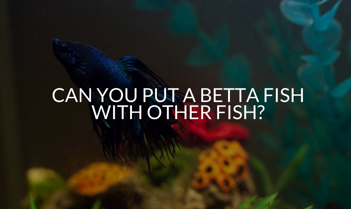 Can You Put A Betta Fish With Other Fish_