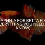 Daphnia for Betta Fish (Everything You Need To Know)