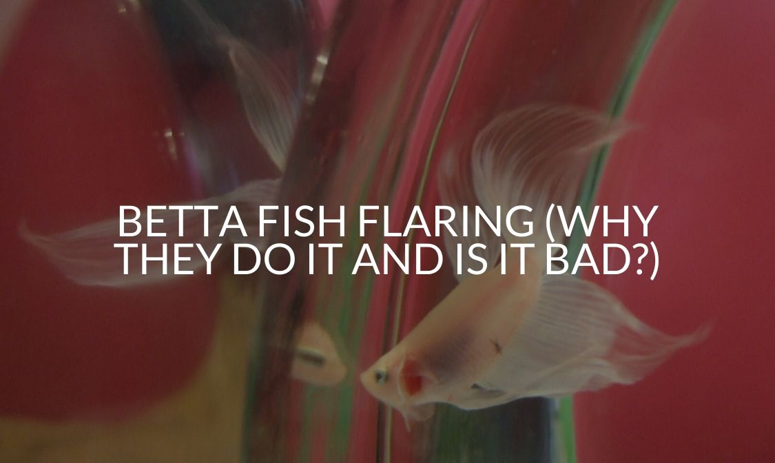 Betta Fish Flaring (Why They Do It And Is It Bad_)