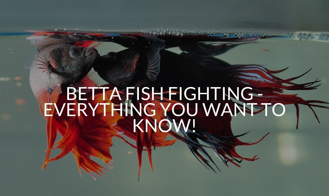 Betta Fish Fighting - Everything You Want To Know!