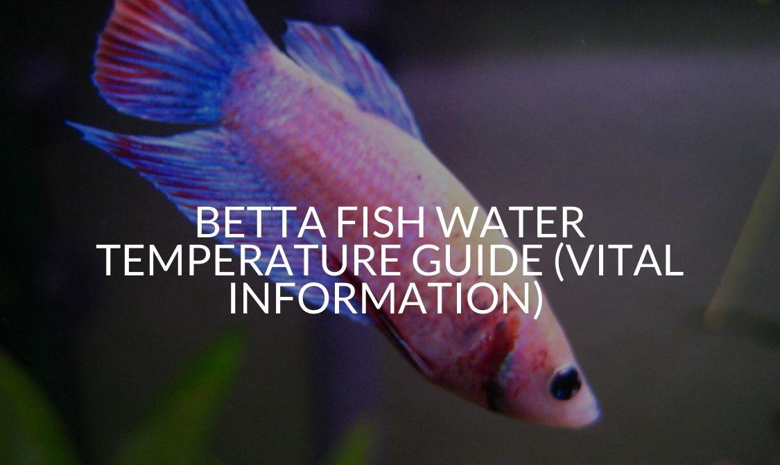 Betta Fish Water Temperature Guide (Vital Information)