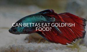 Can Bettas Eat Goldfish Food_