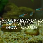Can Guppies And Neon Tetras Live Together? (How-To Guide)