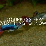 Do Guppies Sleep? (Everything To Know!)