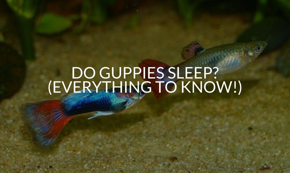 Do Guppies Sleep