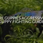 Are Guppies Aggressive? (Guppy Fighting Guide)