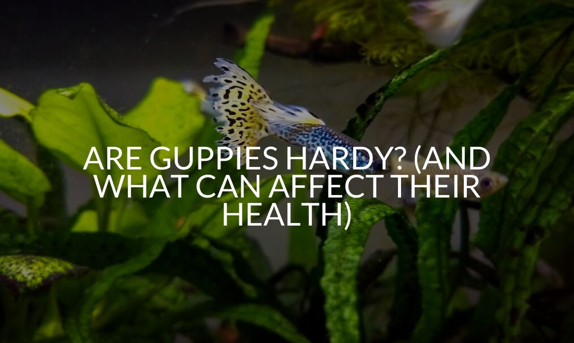 Are Guppies Hardy_ (And What Can Affect Their Health)