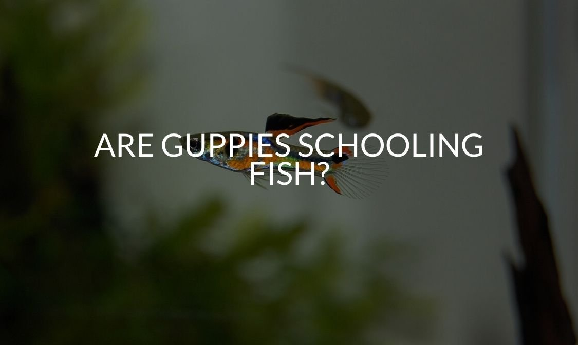 Are Guppies Schooling Fish_