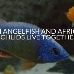 Can Angelfish And African Cichlids Live Together?