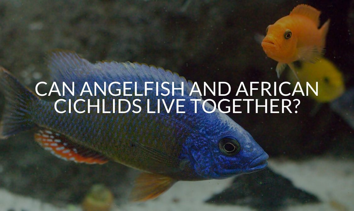 Can Angelfish And African Cichlids Live Together_