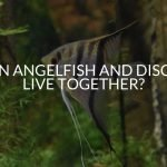 Can Angelfish And Discus Live Together?