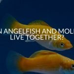 Can Angelfish And Mollies Live Together?